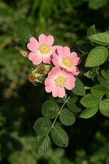 foto rosa mosqueta 1